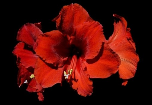 Гибискус часто используют в качестве приворотного растения