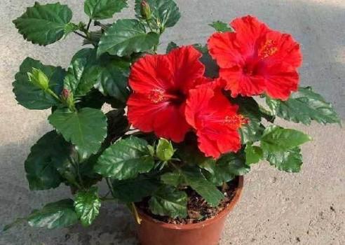 Гибискус цветет с апреля по октябрь!