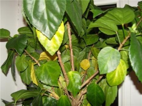 У китайской розы опадают листья из-за чрезмерного полива и отсутствия солнца