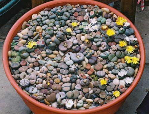 Живые камни цветы купить